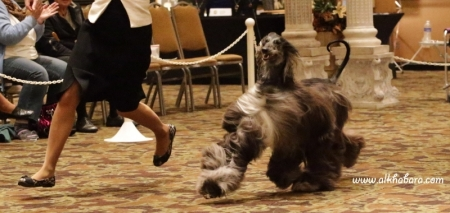 Lilli  at American National Specialty 2012