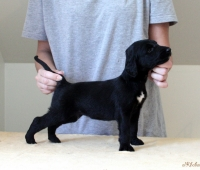 1.boy - Black & Brindle
