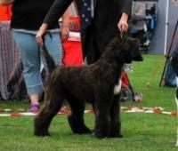 Morris in BIS Puppy ring